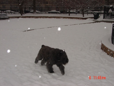Barry looking for his ball in the snow, Jan 2010